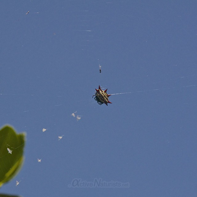 crab spider spinybacked orb-weaver 0000 Key Biscayne, Miami, Florida, USA