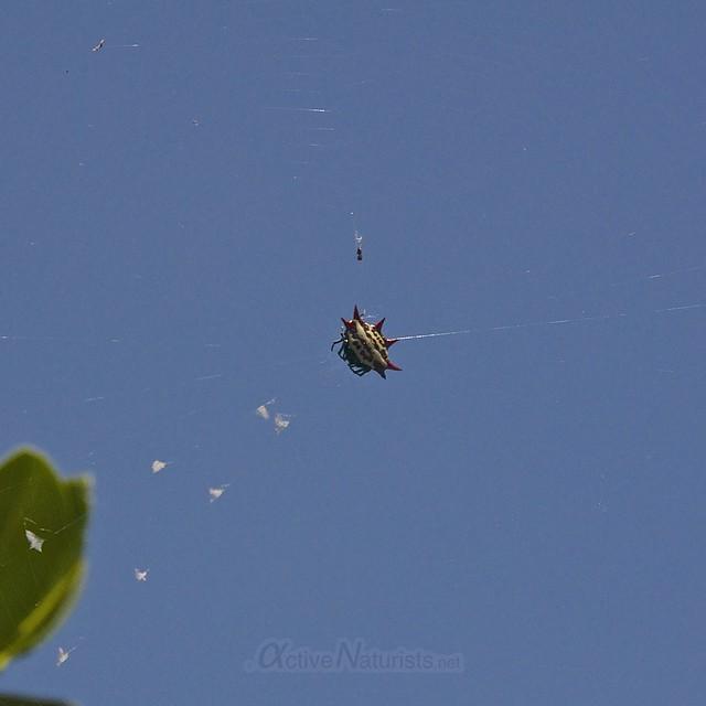 crab spider spinybacked orb-weaver 0000 Key Biscayne, Miami, Florida, USA