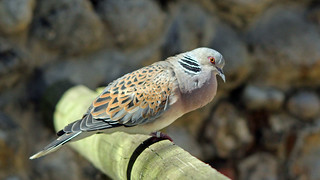 Turtle Dove (Explore)