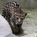 San Diego Zoo: Jaguar Cub