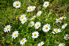 field(0.0), garden cosmos(0.0), annual plant(1.0), flower(1.0), grass(1.0), plant(1.0), marguerite daisy(1.0), chamaemelum nobile(1.0), tanacetum parthenium(1.0), daisy(1.0), wildflower(1.0), flora(1.0), oxeye daisy(1.0), meadow(1.0), daisy(1.0),