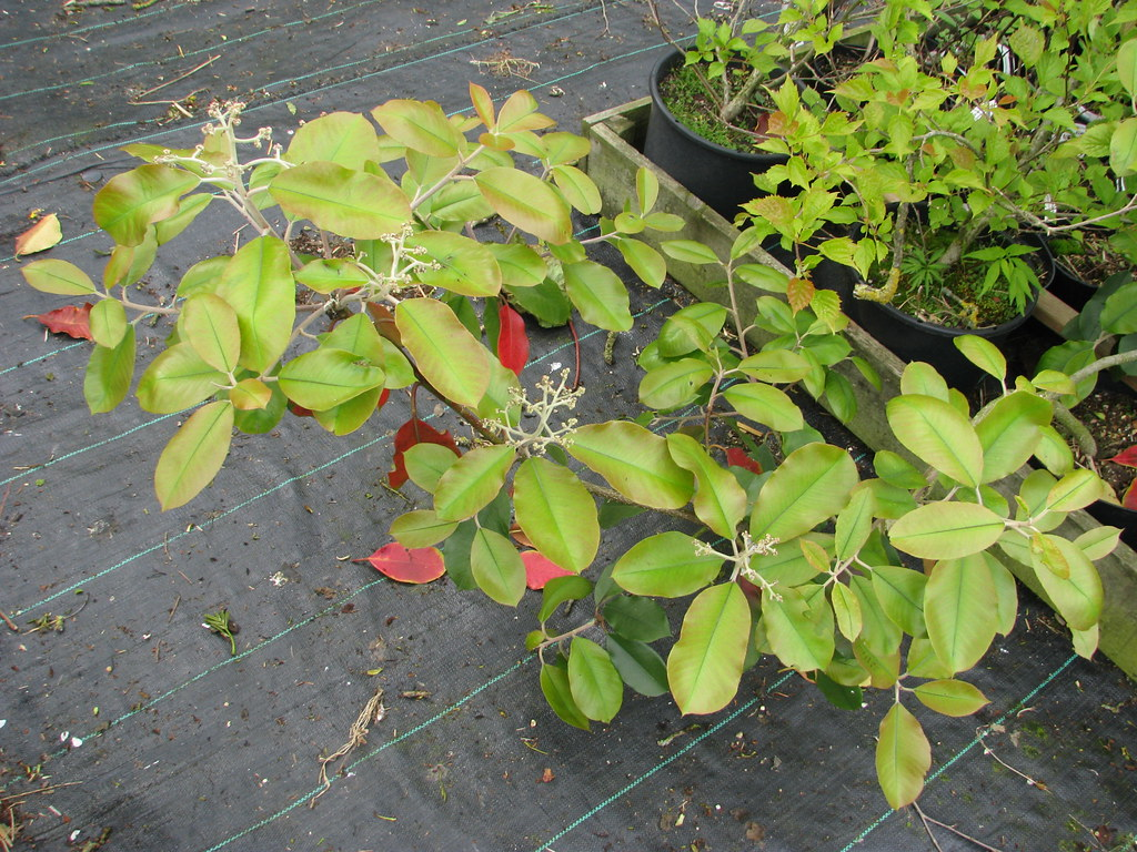 Photinia prionophylla