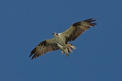animal, hawk, bird of prey, falcon, wing, vulture, fauna, buzzard, kite, beak, bird, flight,