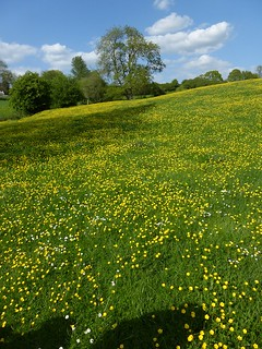 Buttercup meadow near Pluckley