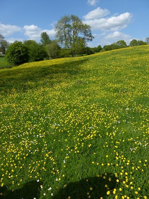 Buttercup meadow near Pluckley