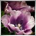 La Sensualité des Fleurs  (The sensuality of flowers) by l'imagerie poétique