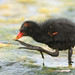 the giant foot of the baby gallinule by Jerry Ting