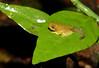 Malabar Gliding Frog (Rhacophorus malabaricus)