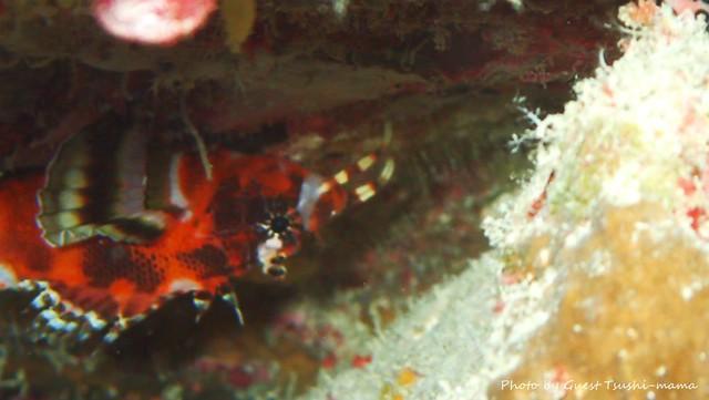 ヒレボシミノカサゴ幼魚ちゃん♪