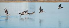 Pelicans leave 0204_ADSC_0004