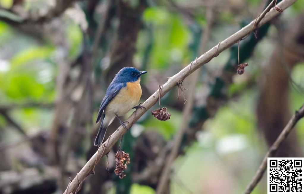 Tickell´s Blue-flycatcher [Papamoscas de Tickell]
