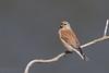 Kneu (Common Linnet)
