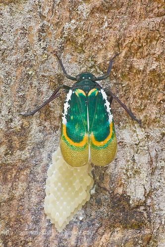 Fulgorid - Eurybrachyidae - Chalia pulchra laying eggs.. IMG_3698 copy