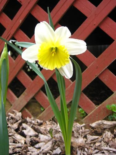 2012_04_03 daffodils