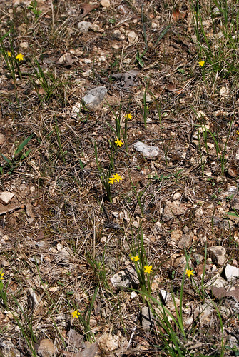 Glade area with several Common Golden Star, Hypoxis hirsuta as seen in Piney Creek Wilderness