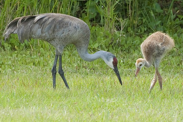 Crane and Chick
