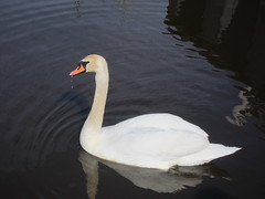 Mute Swan, Cape May Meadows, NJ, March 12,2012