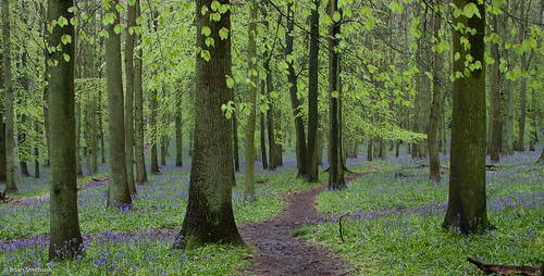 Bluebells at Dockey Wood (Explored)