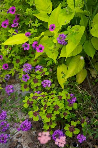 geranium oxalis persicaria verbena  1767
