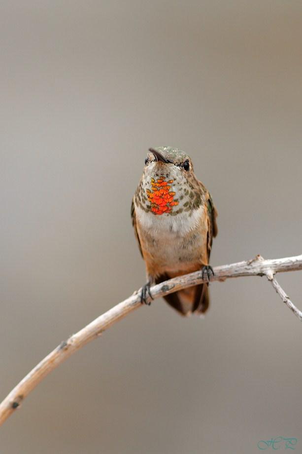 Allen's Hummingbird 062412
