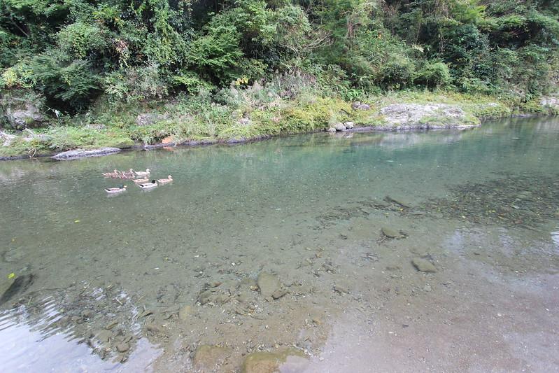 川とカルガモ その6