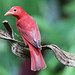 Summer Tanager, Costa Rica (Reagan Smith)