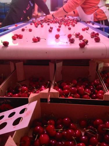 Selección y calibrado de las cerezas de primera calidad Tetació