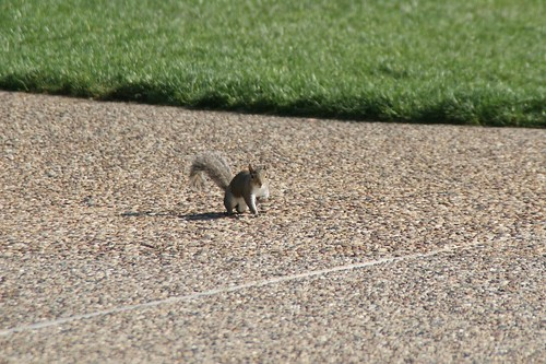 Squirrel - Missouri by SpeedyJR