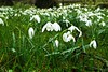 Snowdrops in the dew