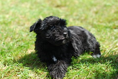 dog breed, animal, dog, schnoodle, pumi, pet, tibetan terrier, glen of imaal terrier, standard schnauzer, poodle crossbreed, havanese, schnauzer, bouvier des flandres, cairn terrier, cã£o da serra de aires, affenpinscher, carnivoran, terrier,