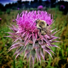 pollinator, animal, honey bee, flower, thistle, plant, nature, invertebrate, macro photography, membrane-winged insect, wildflower, flora, fauna, close-up, meadow, bee, bumblebee,