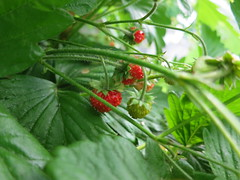 The strawberries are ripening