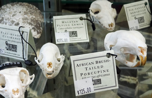 porcupine-skull-for-sale