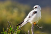 Black-shouldered Kite 2013-06-18 (_MG_1148)