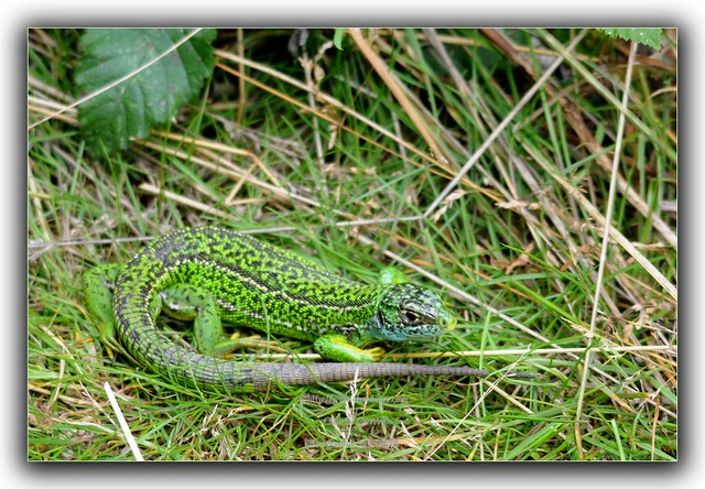 lezard vert flickr photo sharing