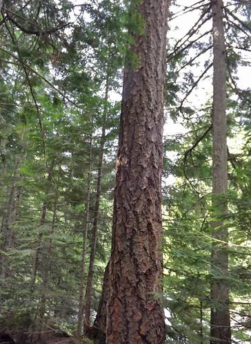 remarkable bark 029