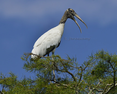Wood Stork, Orlando, FL by Janaswamy
