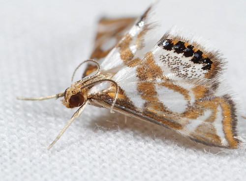 insect nc moth july northcarolina lepidoptera fieldtrip coastalplain eol bmna crambidae canonmpe65mmf2815xmacrophoto acentropinae medocmountain medoc20130710 chrysendeton chrysendetonmedicinalis boldmedicinemoth taxonomy:binomial=chrysendetonmedicinalis