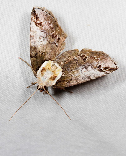 insect nc moth july northcarolina lepidoptera fieldtrip coastalplain eol bmna baileya nolidae medocmountain baileyaophthalmica eyedbaileya medoc20130710 taxonomy:binomial=baileyaophthalmica