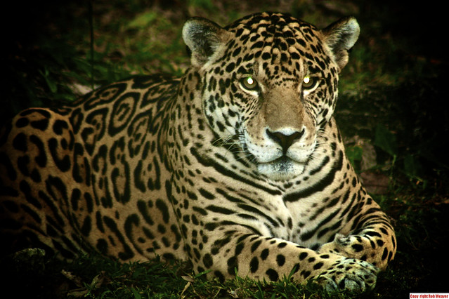 genus panthera - photo #17