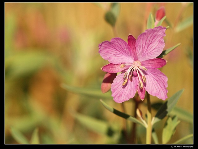 Fireweed (Chamerion sp.)
