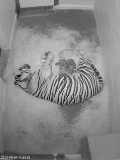 Two Sumatran Tigers Born at the Smithsonian's National Zoo