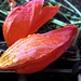 Fiery Reddish-Orange Flower _2