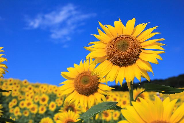如夢令【真夏の太陽】 遠意高情逸雅。夢覺黃粱蝶化。 隨一陣清風,蔚映天... 如夢令【真夏の太陽