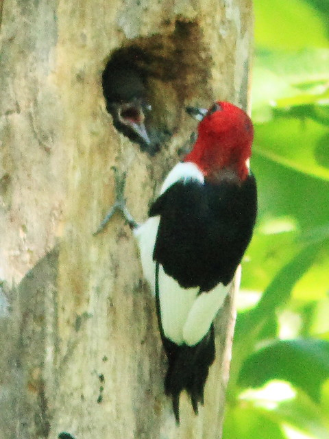 Red-headed Woodpecker feeding nestling 3-20130903