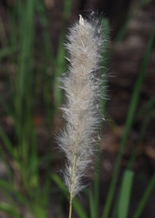 Imperata cylindrica, W of Mungo Brush, Myall Lakes National Park, NSW, 06/02/15