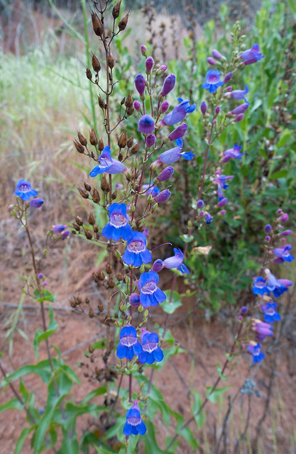 Penstemon, m342