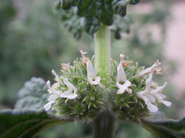 Marrubium vulgare (white horehound ...