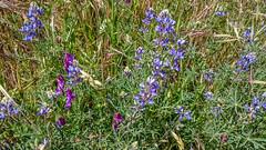 annual plant, prairie, flower, plant, herb, wildflower, flora, meadow, bluebonnet,