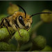Colletes hederae - Male by Ed Phillips 01